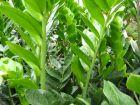 Faux zamia, Plante ZZ, Zamioculcas zamiifolia
