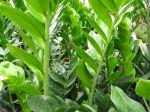 Faux zamia, Zamioculcas zamiifolia