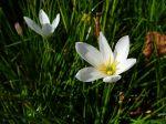 Crocus du Brésil, Lis de pluie blanc, Lis zéphyr blanc, Zephyranthes candida