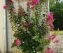 Le Lagerstroemia, un arbuste à la floraison admirable