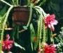 Ma collection de cactées épiphytes