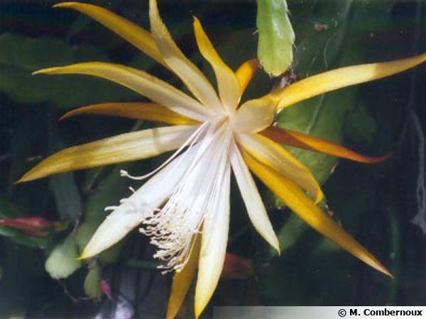 Disophyllum X 'Frühlingsgold'