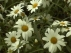 Anthemis des Canaries, Anthemis frutescens, Marguerite, Argyranthemum frutescens