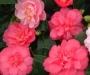 Fleur Rustica 2003 : le cam�lia 'Nishiki-Kirin'