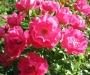 R�sultats de la 45�me �dition du Concours International de Roses Remontantes