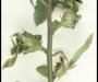 Alerte au Cynips du ch�taignier, Un insecte � ne pas introduire�