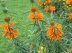Queue de lion, Leonotis leonorus