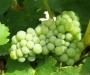 Des pesticides dans le raisin