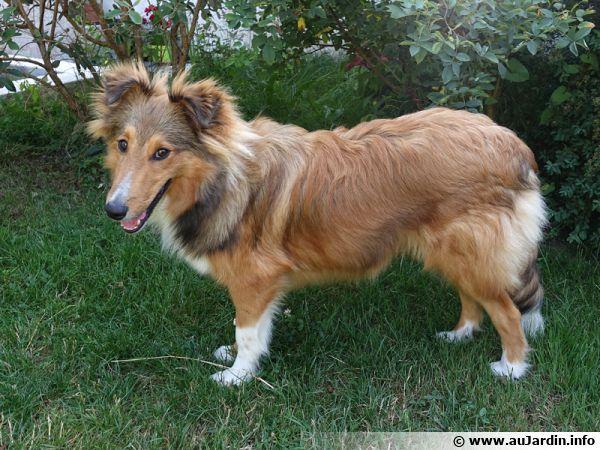 Le Berger des Shetland est un chien vigoureux et robuste