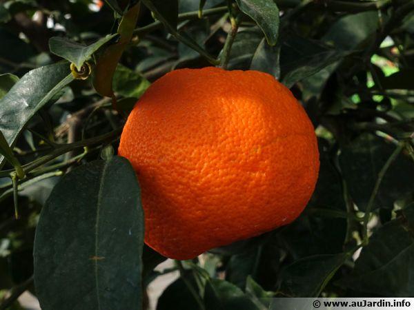 L'oranger, l'orange douce, Citrus sinensis