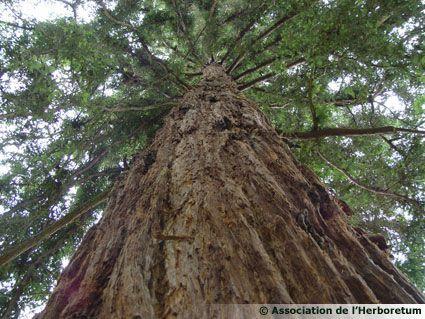 Sequoia du parc de l'Herboretum de Saint-Ay