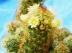 Mammillaire allong�, Mammillaria elongata