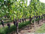 La culture de la vigne (deuxième partie)