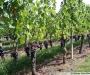 La culture de la vigne (deuxi�me partie)