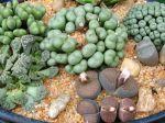 Plantes cailloux