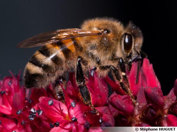 Une abeille domestique au labeur...