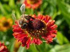 10 plantes pour attirer les abeilles toute l'année