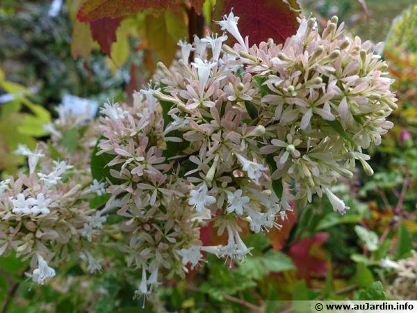Abélia de Chine, Abelia chinensis