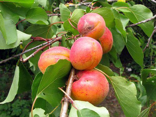 La taille des arbres fruitiers noyaux - Calendrier taille arbres fruitiers ...