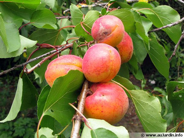 La taille des arbres fruitiers noyaux - Taille des arbres fruitiers a noyaux ...
