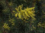 Mimosa de la rivi�re Snowy, Acacia de Snowy River, Acacia boormanii
