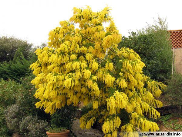 Acacia dealbata, le mimosa d'hiver