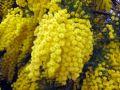 Mandelieu-La Napoule et le mimosa