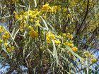 Mimosa des quatre saisons, Acacia retinodes