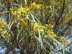 Fleurs du mimosa des 4 saions