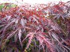 Erable palmé, Erable du Japon lisse, Acer palmatum
