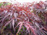 Feuillage de l'Acer palmatum 'Dissectum Garnet'
