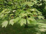 Acer pseudoplatanus 'Brilliantissimun'