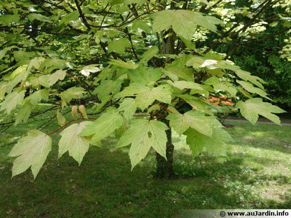 u00c9rable sycomore  acer pseudoplatanus   planter  cultiver
