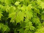 Erable du Japon, Acer shirasawanum