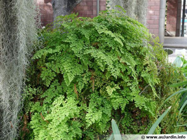 Capillaire adiantum capillus veneris planter cultiver for Plante verte de jardin