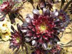 Aeonium arboreum 'Atropurpureum', Aéonium pourpre