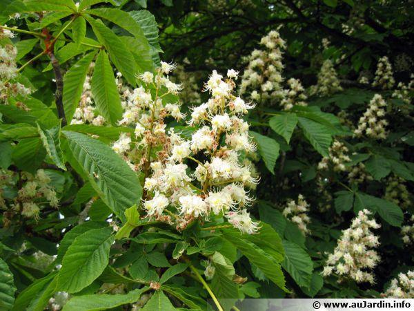 Marronnier d'Inde, Marronnier commun, Aesculus hippocastanum