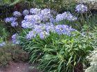 Famille des Liliacées / Liliaceae