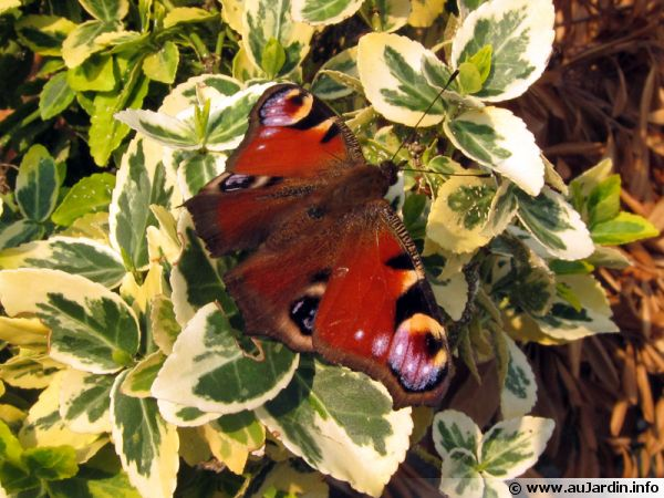 Paon du jour (Aglais io)