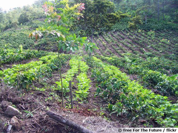 L'agroforesterie au Honduras