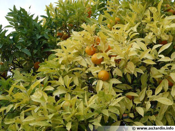 Les huiles essentielles d'agrumes agissent contre le mildiou et repoussent le doryphore