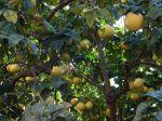 La culture des agrumes en France