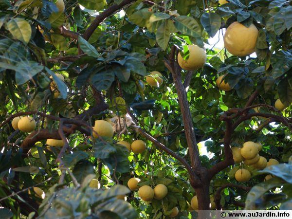 Culture d'agrumes à Menton