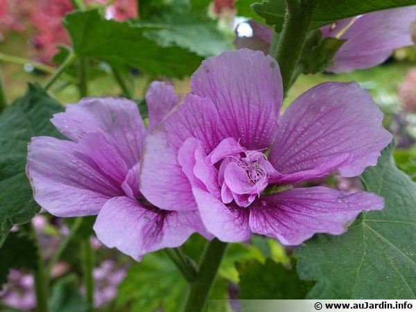 X Alcalthaea suffrutescens 'Parkrondell', une rose trémière arbustive