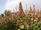 "Rose tr?mi?re, Rose ? b?ton, <span style=""font-style:italic;"">Althaea rosea, Althaea sinensis</span>"