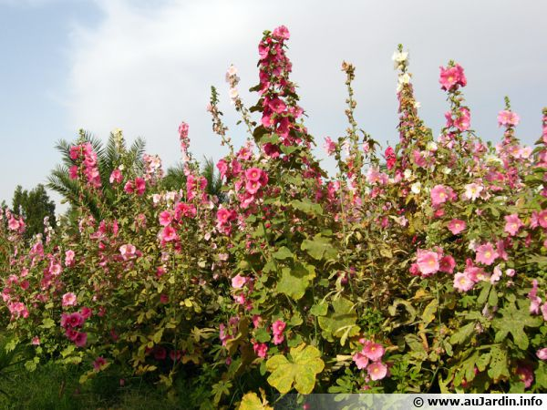Rose tr mi re rose batons althaea rosea alcea rosea - Planter des roses tremieres ...