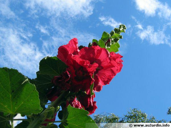 Hampe florale d'une rose trémière