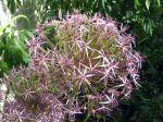 Étoile de perse, Allium christophii