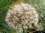 Ail du Turkestan, Ail ornemental à larges feuilles, Allium karataviense