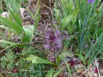Ail de Schubert, Ail feu d'artifice, Allium schubertii
